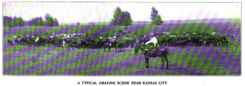 a typical grazing scene near kansas city